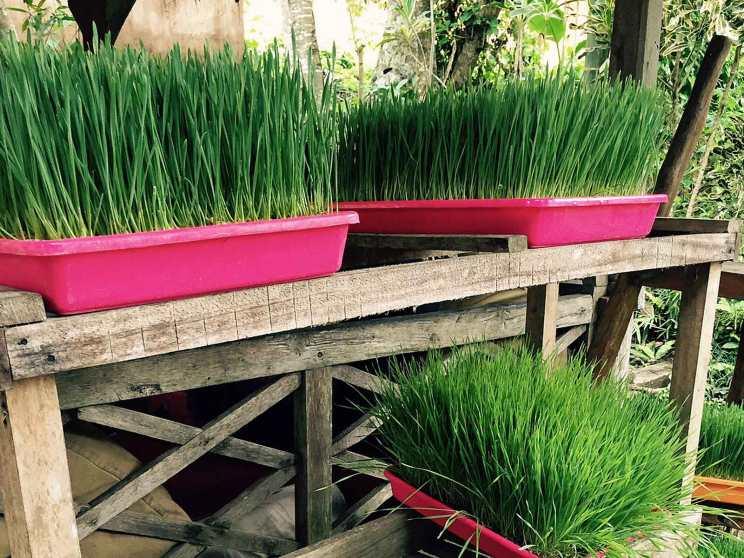 Wheat grass growing in Ubud, Bali.