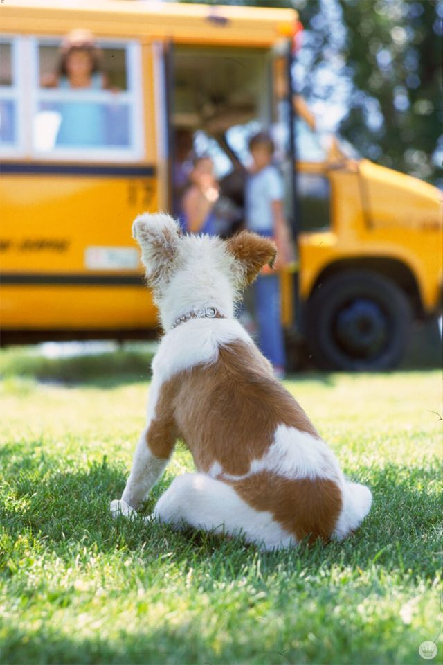 Back-to-school picture ideas: dog looking at school bus
