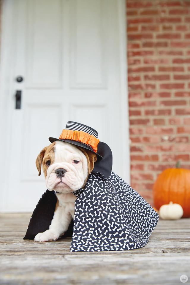 Bulldog in a dashing dog costume: cape and hat
