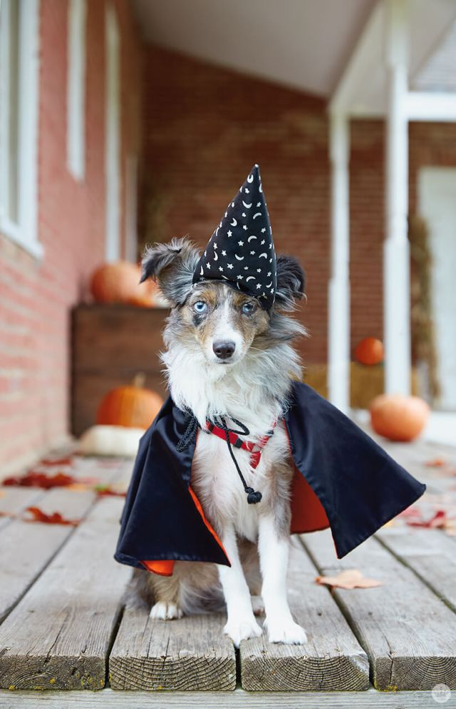 Dog dressed as a wizard