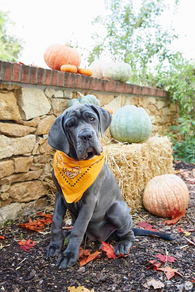 Very good dog wearing an orange bandana