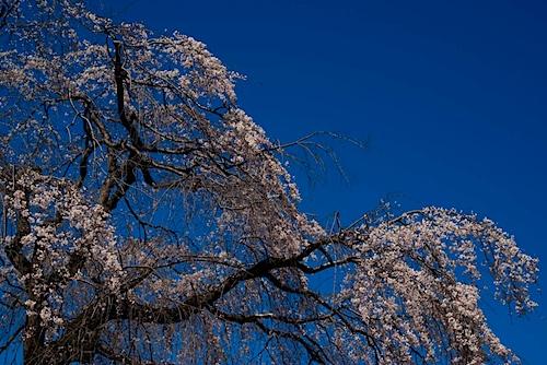 皇子山陸上競技場のしだれ桜