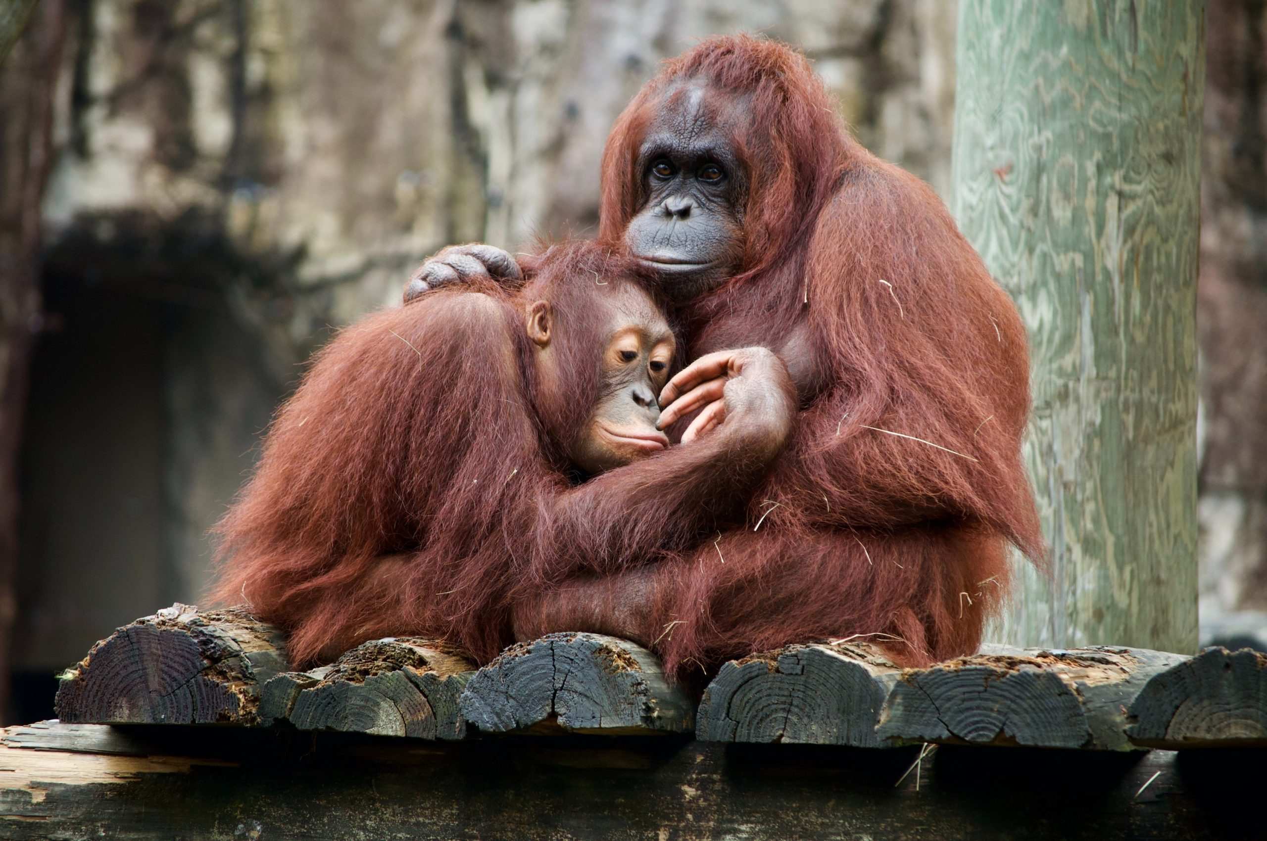 Picture of a mother primate cuddling her child