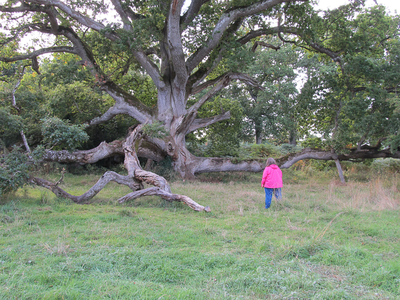 King Oak - 700 years old - on the grounds of Charleville Castle - County Offaly