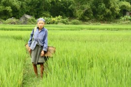 Image of woman carrying basket through the rice field in Mai Chau Village.