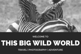 Image welcoming the reader to This Big Wild World with zebras in the background.