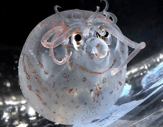 ocean pig