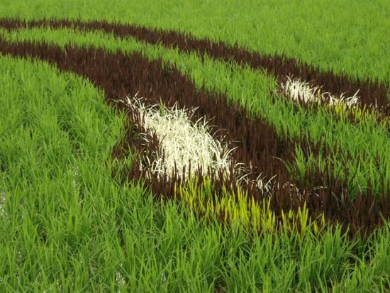rice-field-close-up