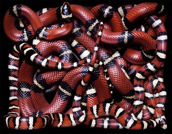 red and black snake The Most Dangres Snakes In The World