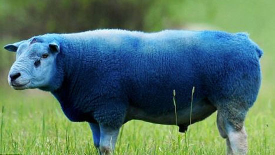 blue-sheep