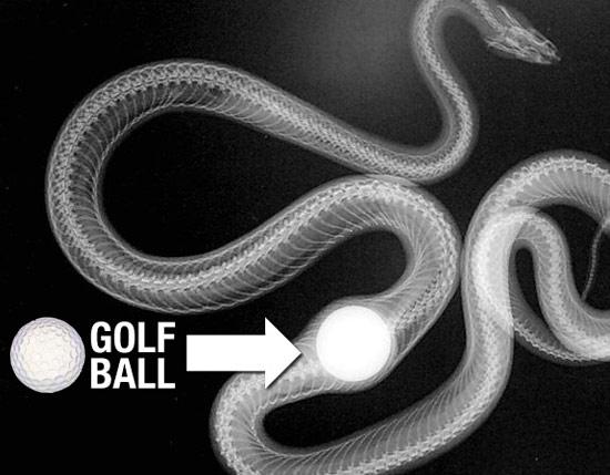 snake-golf-ball