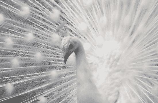 APeacock