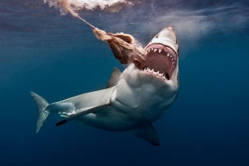 great white shark deadliest shark