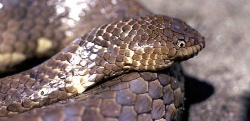Short-Nosed Sea Snake endaangered