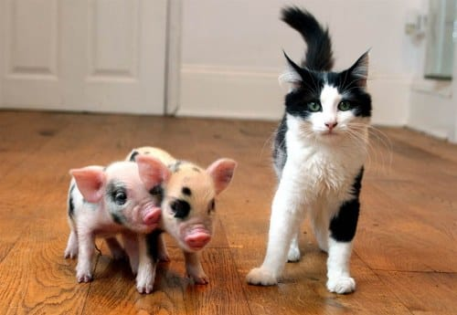 teacup pigs size