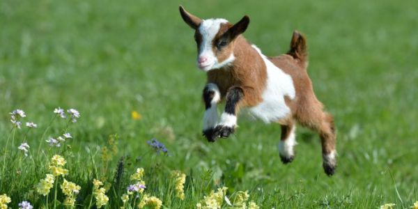 An animal abuser was identified by a goat.