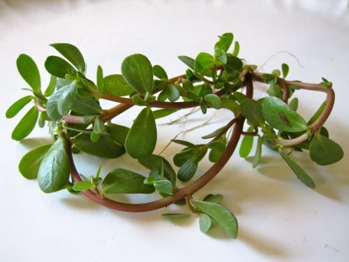 Vegetables That You Know Nothing About - Purslane