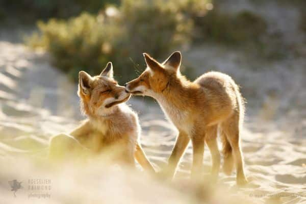 Long History With Humans, Among The Amazing Facts About Foxes