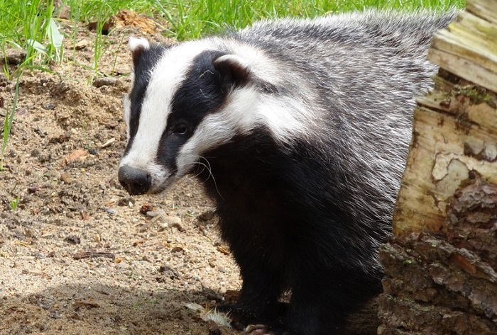 badger standing by a log