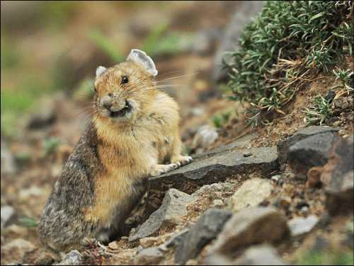 Pika is little hamster looking for a food