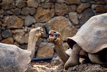 Two brown tortoise facing each other