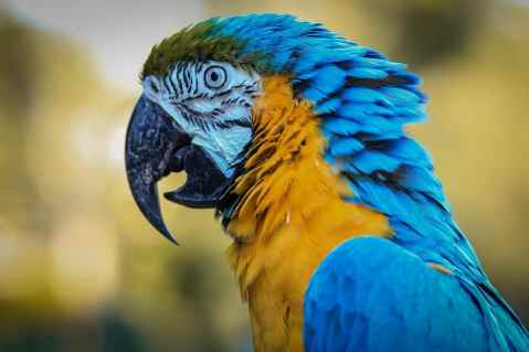 Spix's Macaw staring something