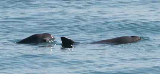 family members of the porpoise swimming