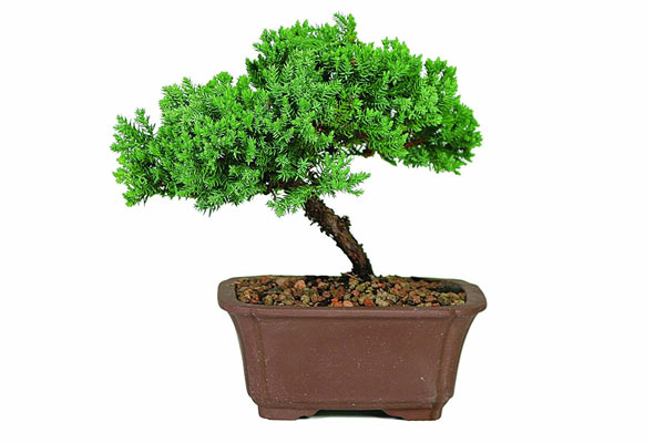 what can i get my husband for his birthday bonsai