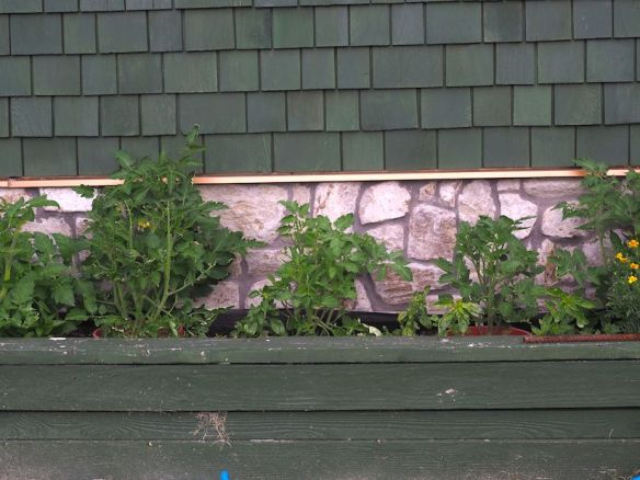 Tomato plants chomped on by deer