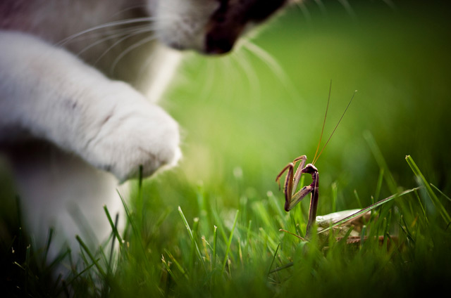 Cat Vs. Mantis photography insects cats