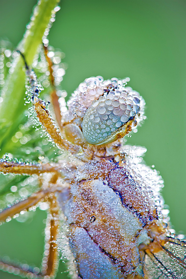 Macro Photographs of Dew Covered Dragonflies and Other Insects by David Chambon macro insects