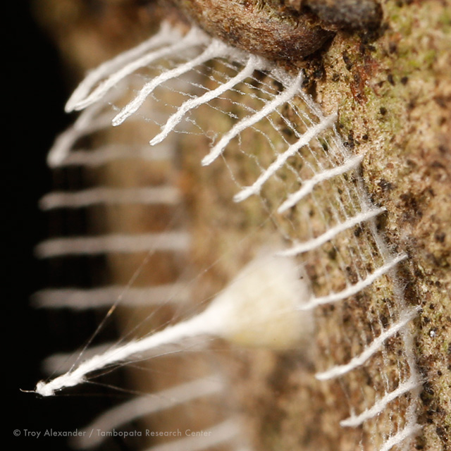 Unknown Artistic Insect Builds a White Picket Fence to Protect its Nest of Eggs spiders nature insects