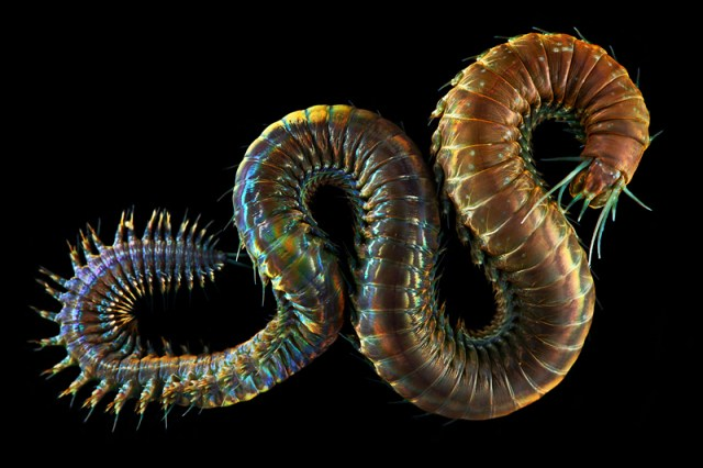 Creatures from Your Dreams and Nightmares: Unbelievable Marine Worms Photographed by Alexander Semenov worms ocean nature