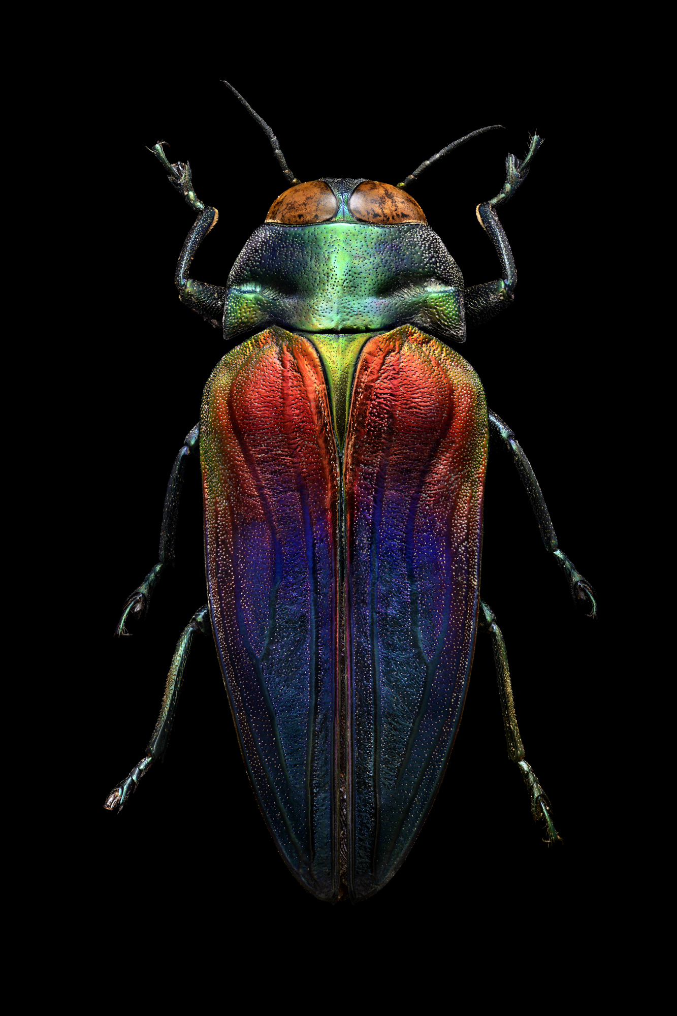 Tricolored Jewel Beetle