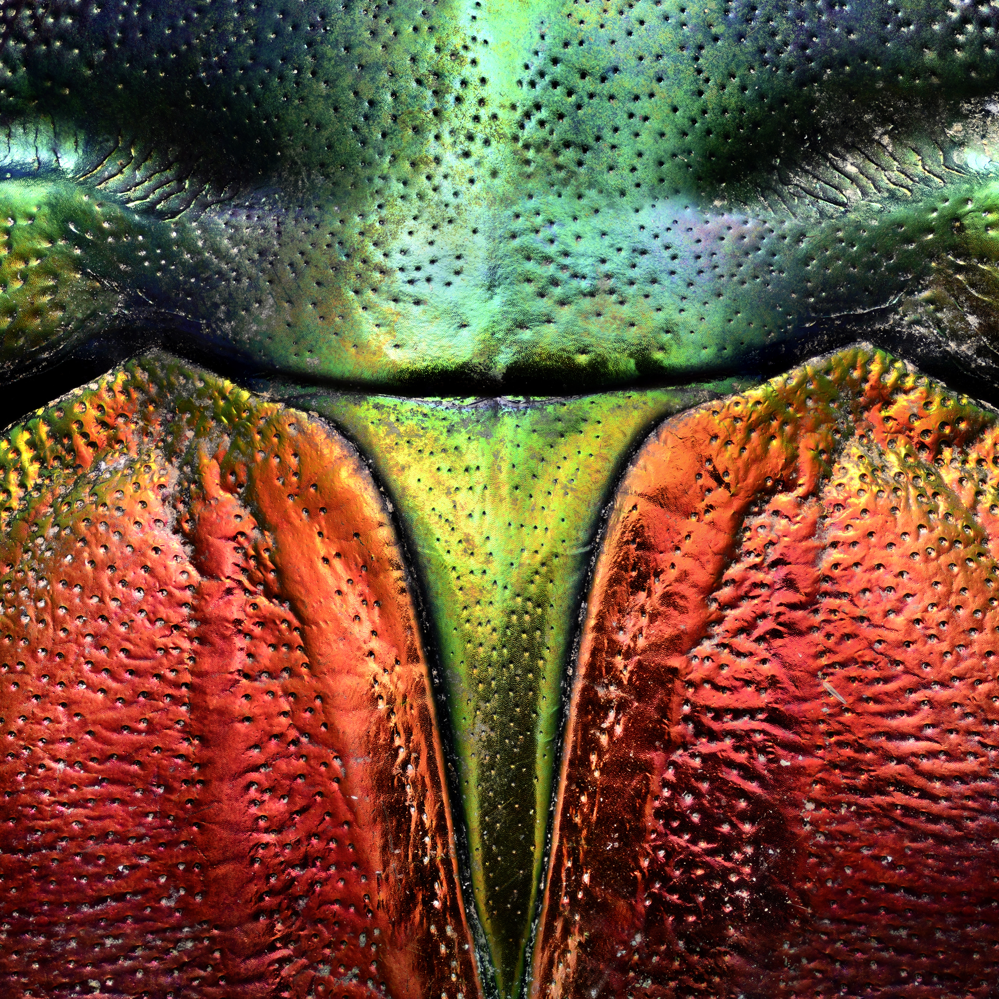Detail of Tricolored Jewel Beetle
