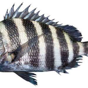 Image result for sheepshead fish pics 300x300