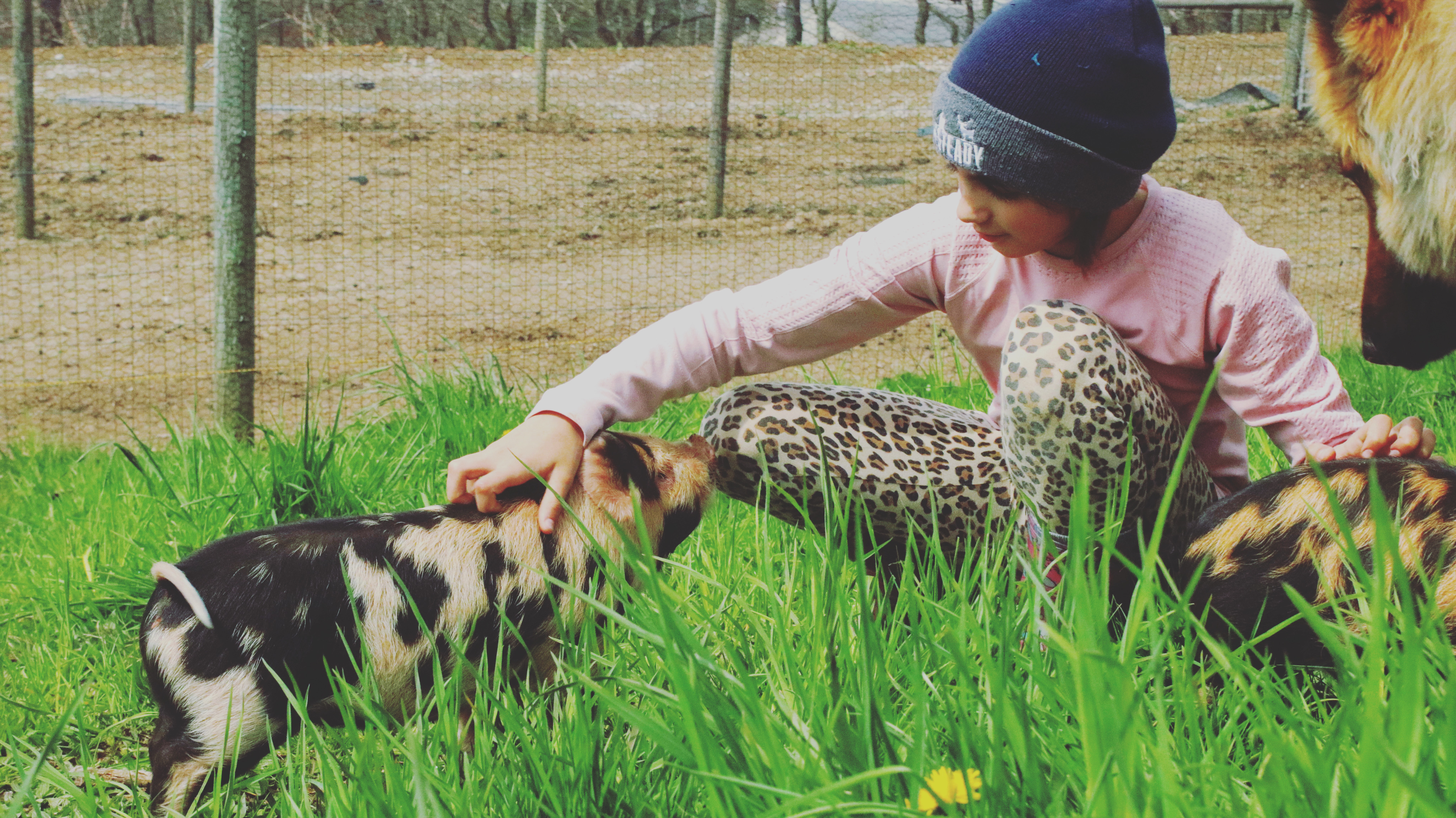 Why I Switched Pig Breeds