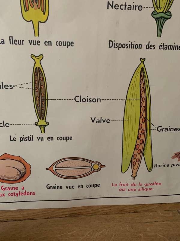 affiche ancienne vintage botanique mdi