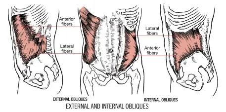 Internal and External Obliques