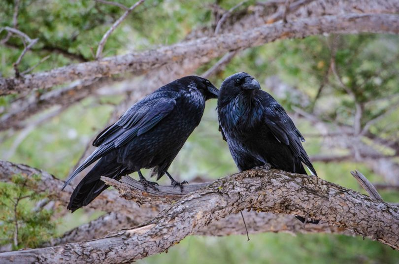 A pair of preening crows