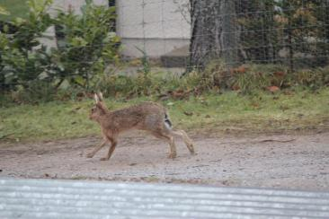 March Hare on the Drive