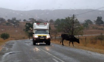 Cattle on the road in Swaziland 2016