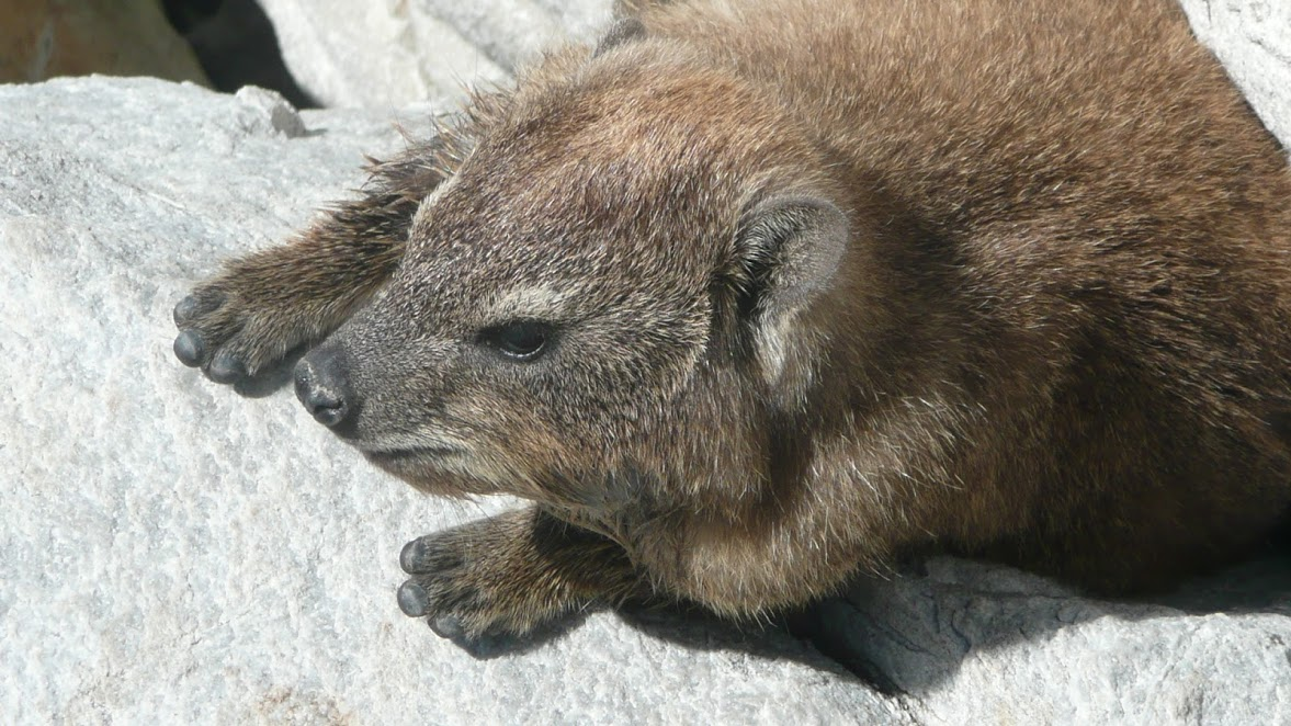 The South African rock dassie is a close relative to the elephant