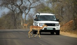Impala crossing the road in Kruger National Park, South Africa 2016