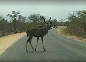Greater Kudu on the road in Kruger National Park, South Africa 2016