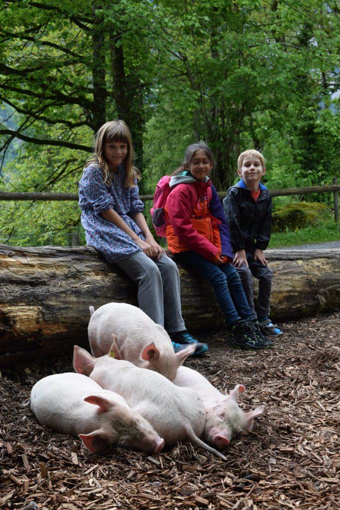 Pig feeding in Ballenberg