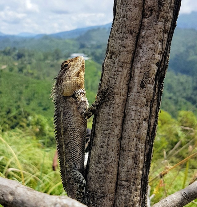 lizard in Sri Lanka