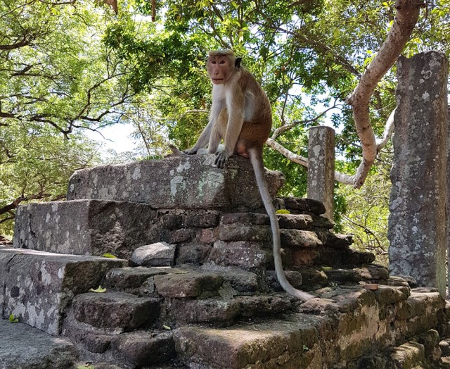 monkey in Sri Lanka