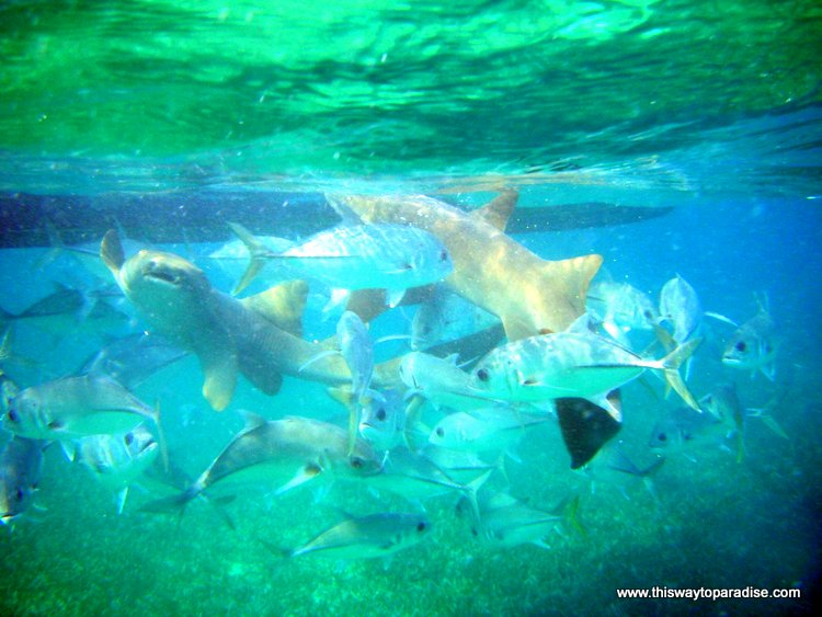 Sharks and fish feeding near the Belize Barrier Reef, Ambergris Caye