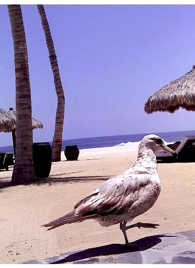 Sea gull on the sand in San Jose del Cabo